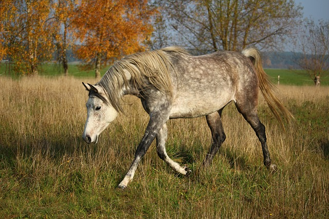 cheval pur sang arabe gris